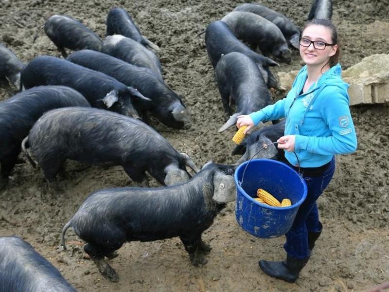 LSV pita: Kome je u ineteresu da uništi domaće svinjarstvo?