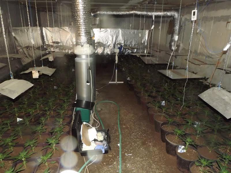 Stara Pazova: Otkriveni nasadi marihuane
