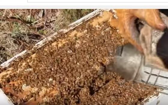 Francuska: pčele proizvode med od marihuane