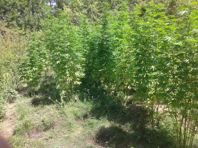 Novosađanin gajio marihuanu u Dimitrovgradu