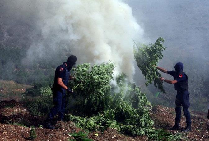 U Albaniji zaplenjene tri metričke tone kanabisa