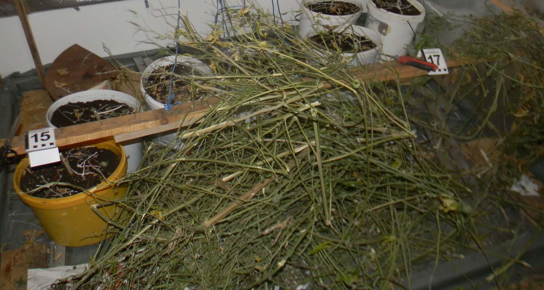 Niš: Uhapšeni uzgajivaći marihuane!