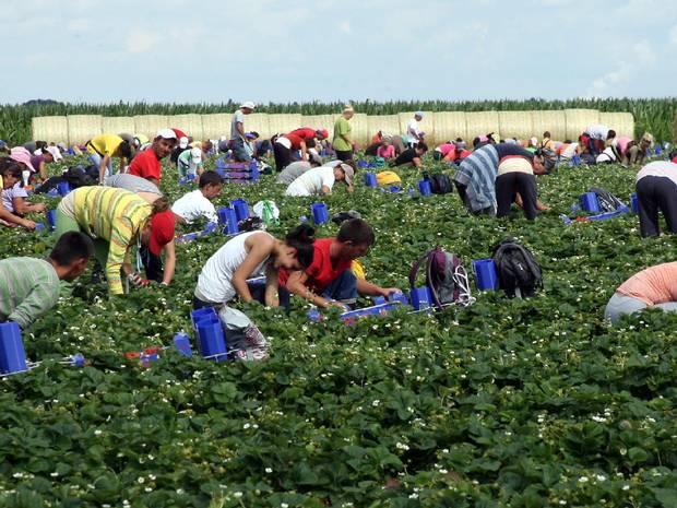 NEMAČKA/ potrebno 170.000 sezonaca za berbu jagoda!