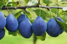 ZDRAVLJE: Šljive – ukusno lekovito voće