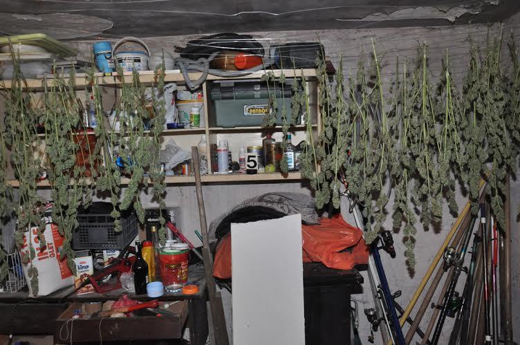 Subotica: uhapšen proizvođač marihuane